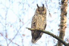 Long eared owl Asio otus bird of prey perched in a tree. Long eared owl Asio otus bird of prey perched and resting in a tree wih snow in winter daytime colors Stock Photo