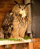 Long eared owl. Asio otus, birds of prey, Preston, Lancashire, UK Stock Image