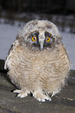 Long-eared owl (Asio otus) chick. An orphaned Long-eared owl chick royalty free stock photography