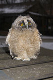 Long-eared owl (Asio otus) chick. An orphaned Long-eared owl chick stock photo