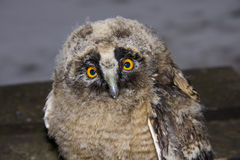 Long-eared owl (Asio otus) chick. An orphaned Long-eared owl chick royalty free stock photos