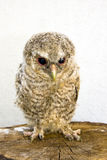 Long-eared owl (Asio otus) chick Royalty Free Stock Photo