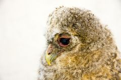 Long-eared owl (Asio otus) chick Royalty Free Stock Images