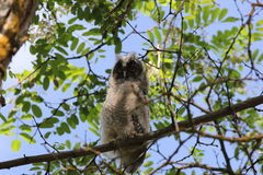 Long-Eared Owl (Asio otus) Royalty Free Stock Image