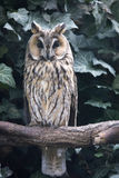 Long-eared Owl, Asio otus, is inconspicuous owl Stock Photography