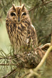Long-eared Owl, Asio otus, is inconspicuous owl Stock Photo