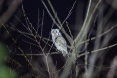 Long-eared Owl in Japan Stock Photos