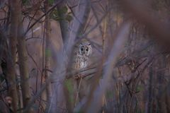 Long-eared Owl in Japan Royalty Free Stock Image