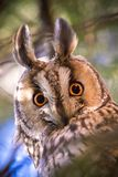 Long-eared owl Asio otus. The long-eared owl Asio otus, also known as the northern long-eared owl, is a species of owl which breeds in Europe, Asia, and North Royalty Free Stock Images