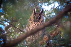 Long-eared owl Asio otus. The long-eared owl Asio otus, also known as the northern long-eared owl, is a species of owl which breeds in Europe, Asia, and North Stock Images