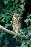 Long-eared owl Asio otus Stock Image