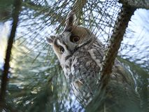 Long-eared owl Asio otus. Long eared owl resting in a tree in its habitat Royalty Free Stock Photos