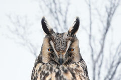 Long-eared Owl (Asio otus). Long-eared owl looking out for its prey Stock Image