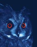 Long-eared Owl. (Asio otus) at night Royalty Free Stock Photos