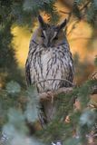 A long-eared owl perched in the daytime in a garden in Berlin Germany. stock photos