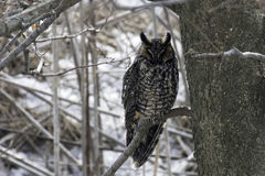 Long-eared Owl, Asio otus, perched in tree Royalty Free Stock Image
