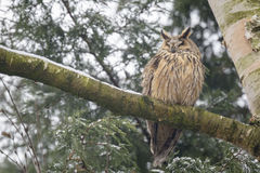 Long eared owl Asio otus perched in a tree Royalty Free Stock Images