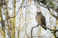 Long eared owl Asio otus perched in a tree Royalty Free Stock Photography