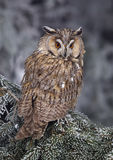 Long-eared Owl Asio otus Stock Photos