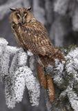 Long-eared Owl Asio otus Royalty Free Stock Photography