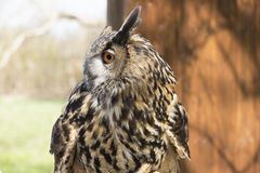 Long-eared Owl. Asio Otus. Long-eared Owl, photographed close up Royalty Free Stock Photography