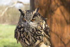 Long-eared Owl. Asio Otus. Long-eared Owl, photographed close up Royalty Free Stock Photo
