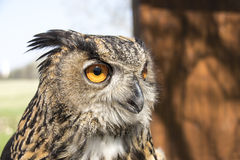 Long-eared Owl. Asio Otus Royalty Free Stock Images