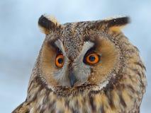 Long-eared Owl (Asio Otus). Portrait Stock Image