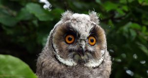 Long Eared Owl, asio otus, Portrait of Adult, Normandy in France, stock footage