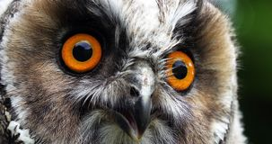 Long Eared Owl, asio otus, Portrait of Adult, Normandy in France, stock video