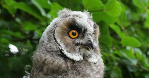 Long Eared Owl, asio otus, Portrait of Adult, Normandy in France, Slow motion stock video