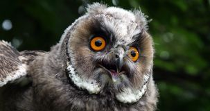 Long Eared Owl, asio otus, Portrait of Adult, Normandy in France, Slow motion stock footage