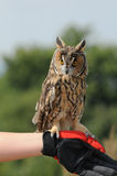 Long-eared Owl (Asio otus, previously Strix otus) Stock Image