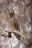 Long Eared Owl, Asio otus stock image