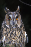 Long-eared owl,  Asio otus, Stock Images