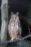 Long-eared owl,  Asio otus, Stock Image