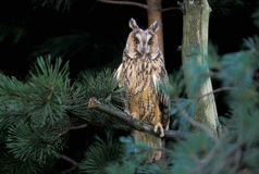 Long-eared owl,  Asio otus, Royalty Free Stock Photography