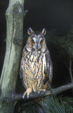 Long-eared owl,  Asio otus, Royalty Free Stock Images