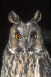Long-eared owl,  Asio otus, Stock Photography