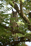 Long-eared owl, Asio otus Stock Photos