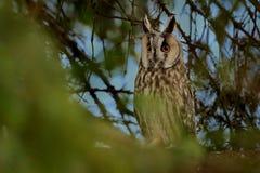 Long-eared Owl Asio otus Royalty Free Stock Image