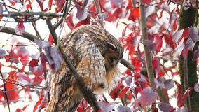 Long-eared owl Asio otus sitting high up in a tree stock video footage