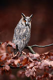 Long-eared Owl (Asio otus) sitting on orange oak branch during autumn. Long-eared Owl (Asio otus) sitting on orange oak Royalty Free Stock Photography