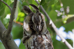 Long-eared owl. Stock Images