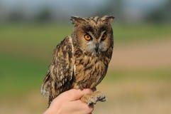 Long-eared Owl (Asio otus). Tame Long-eared Owl (Asio otus, previously Strix otus) on hand stock photos