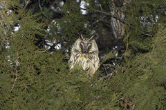 Long-eared owl (Asio otus) in the tree Stock Photography