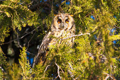 Long-eared owl (Asio otus) in the tree Royalty Free Stock Images