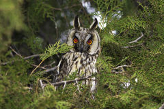 Long-eared owl (Asio otus) in the tree Royalty Free Stock Photo