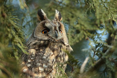 The Long-eared Owl (Asio otus) on the tree Royalty Free Stock Image