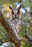 Long-eared owl (Asio otus) in the tree Stock Photo